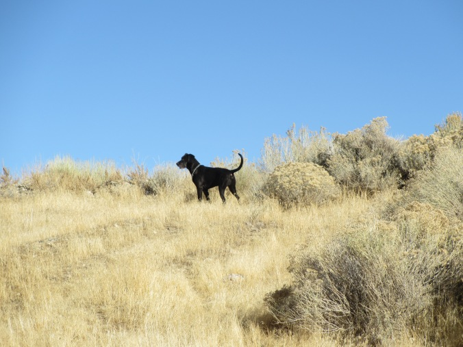 Plott Hound in the Nevada Desert