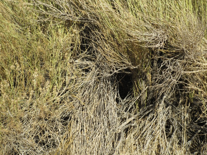 Rabbit Den in Desert Grass