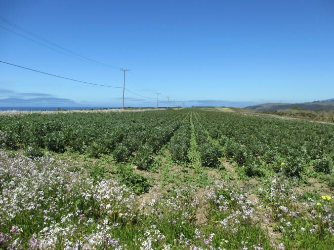 Young artichoke plants, Pescadero, California