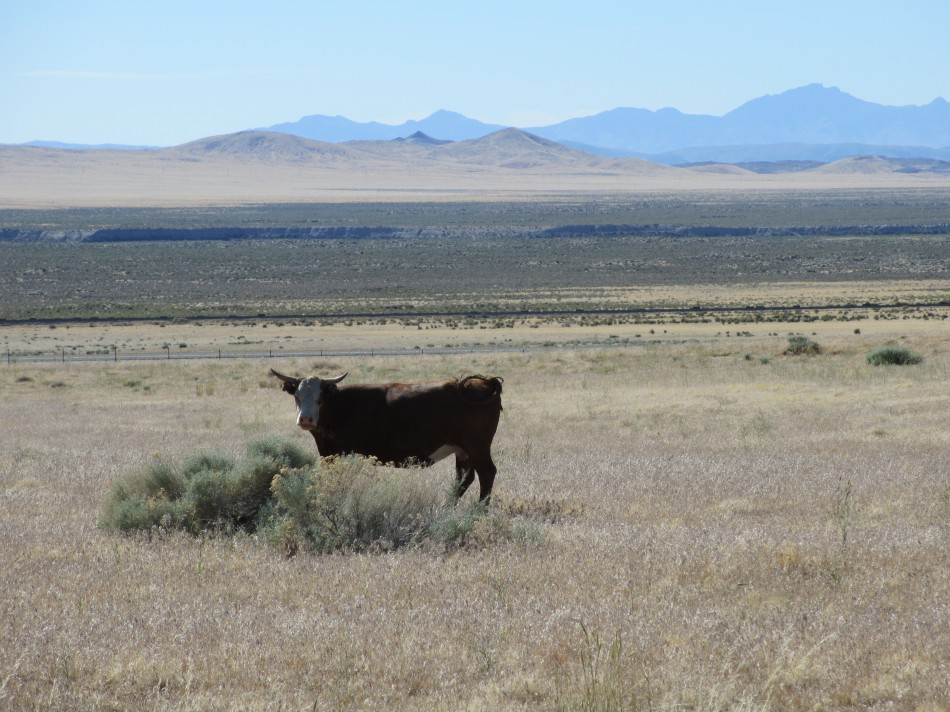Cattle in the Nevada Desert