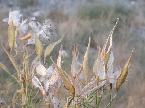 Nevada desert plant going to seed