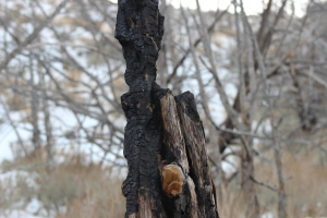 Charred Wood in the Nevada desert