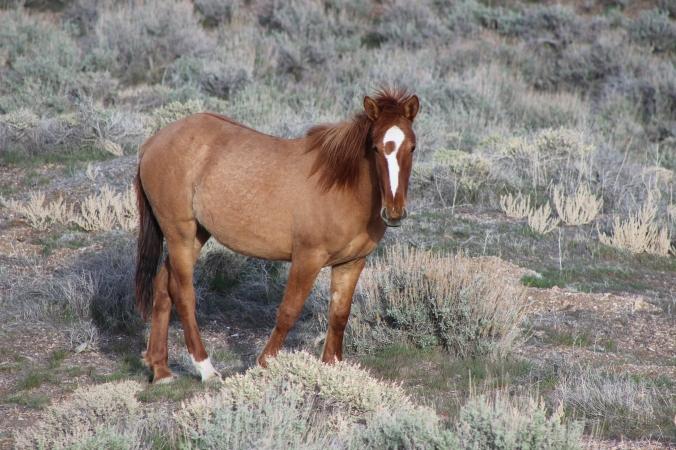 Mustang, Ginger Filly on the Range, Nevada Desert