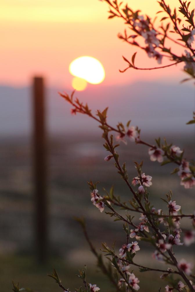 Peach Blossoms. Nevada