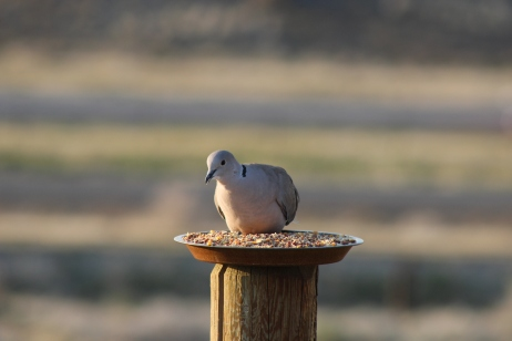 Ring-Necked Dove.Nevada