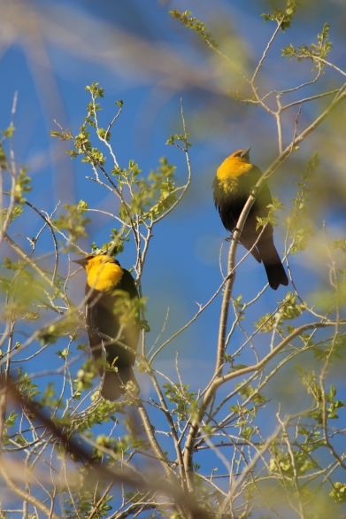 Yellow Headed Blackbird.Nevada
